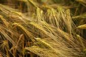 Fotografia Campo di grano. Spighe di grano dorata si chiudono. Paesaggio di natura bellissima. Paesaggio rurale della mietitura grano buono. Sfondo di maturazione le orecchie del campo di grano di prato. Il concetto di ricco raccolto