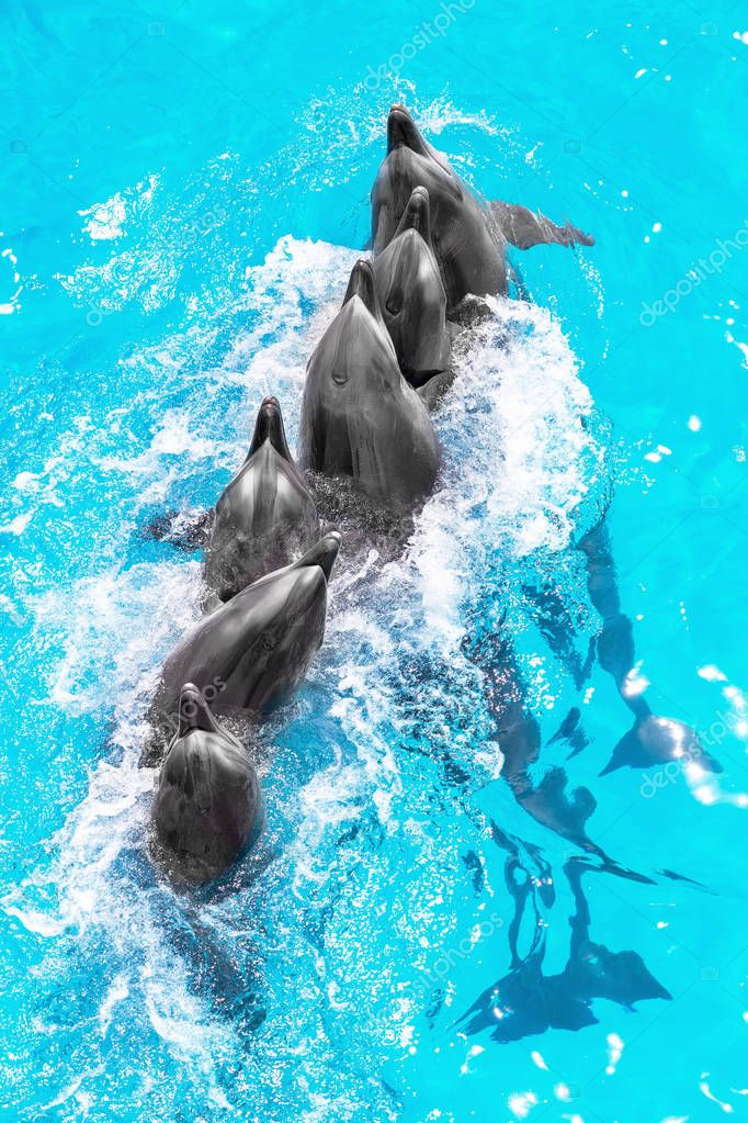 Group of beautiful dolphins happily swimming in the blue water in the swimming pool on a bright sunny day and perform complex acrobatic tricks