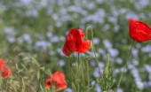 Fotografie Flowers Red poppies bloom in the wild field. Beautiful field red poppies with selective focus, soft light. Natural Drugs - Opium Poppy. Glade of red wildflowers