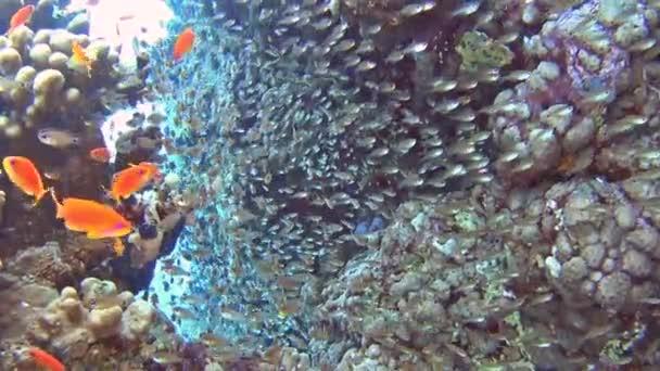 Krásný podvodní tropických korálových útesů krajina scéna s hejny anthias ryby pseudoanthias squamipinnis a glassfish parapriacanthus ransonneti