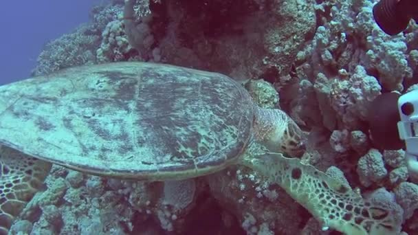 Red Sea hawksbill turtle eretmochelys imbricata swimming and feeding underwater on coral reef wall in tropical ocean