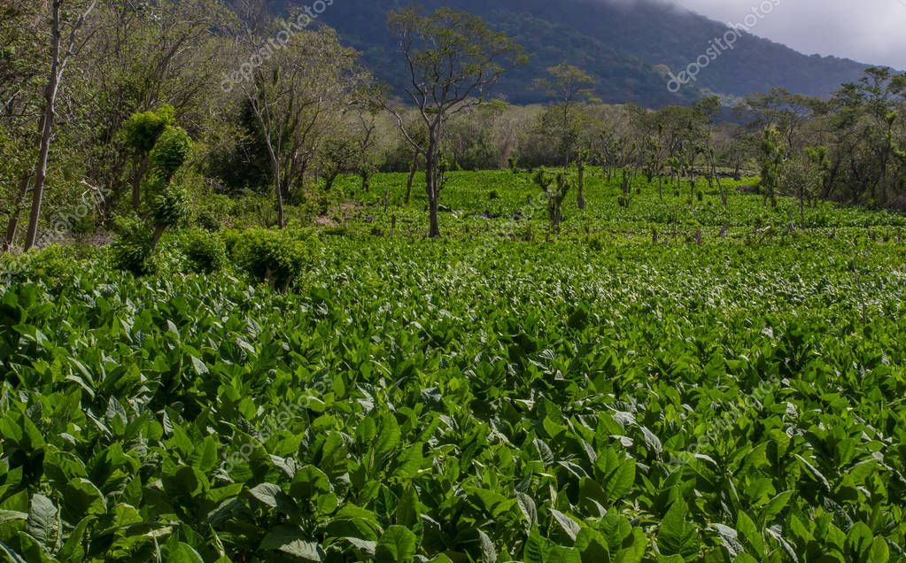 A tobacco plantation with and active volcano in the background on the island of Ometepe, Nicaragua