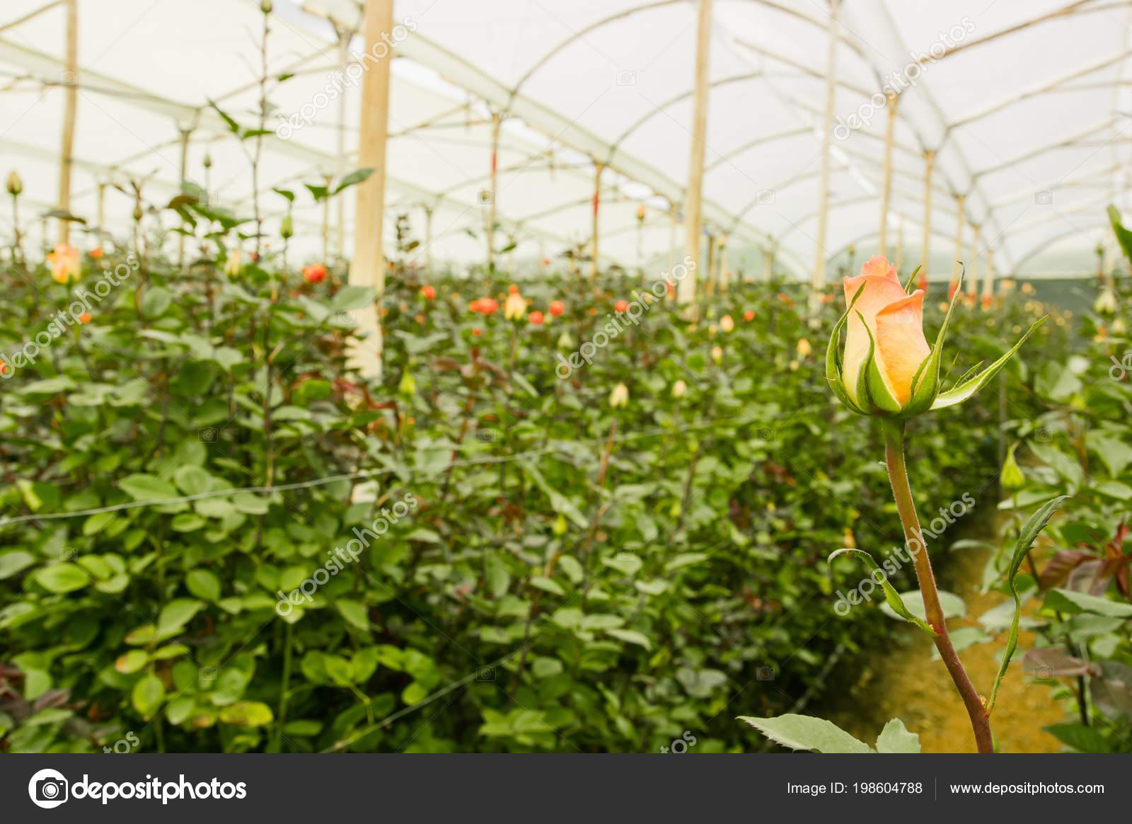 Beautiful single white rose flower in garden greenhouse in ecuador beautiful single white rose flower in garden greenhouse in ecuador stock photo izmirmasajfo