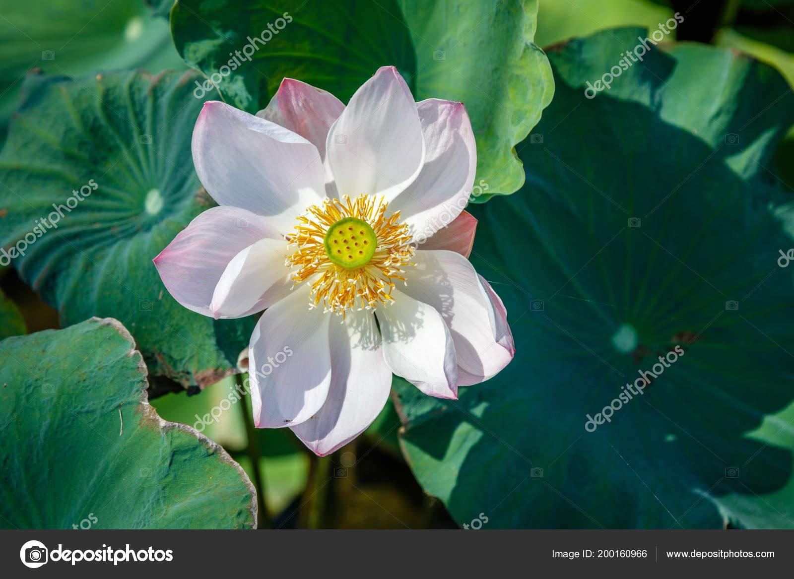 Blooming White Wild Lotus Flower Ubud Bali Island Indonesia Stock