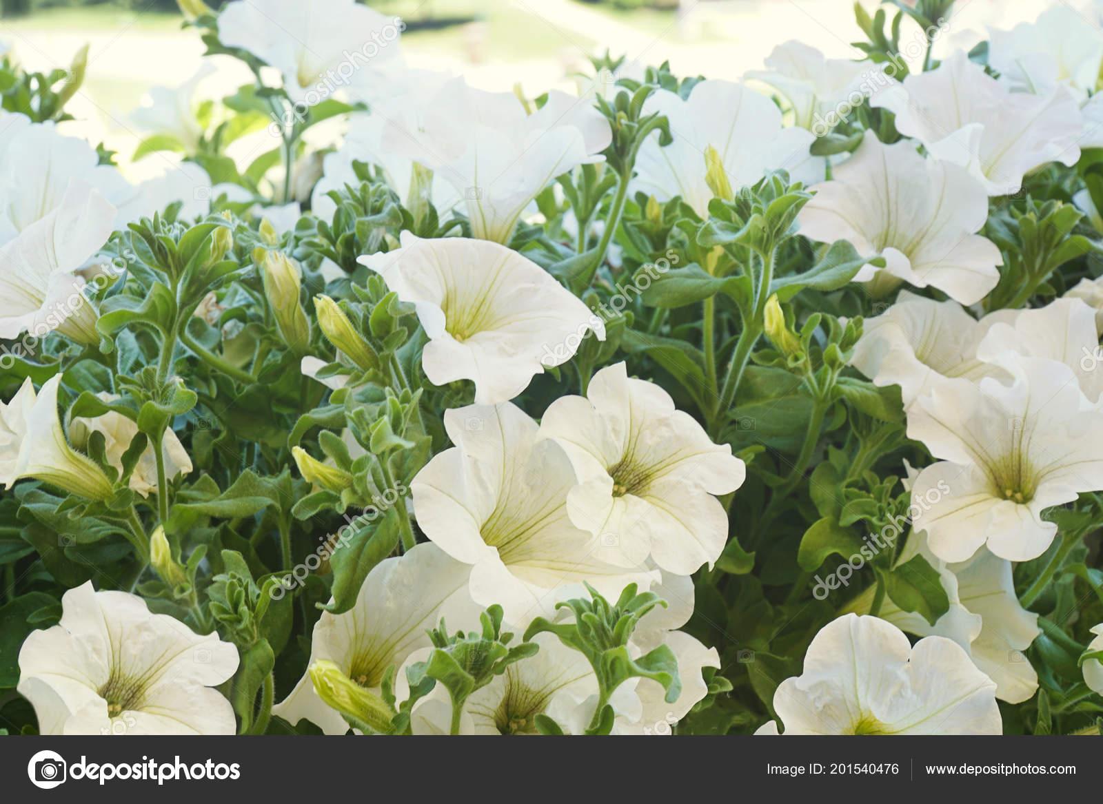 White Petunia Flowers Sun Stock Photo Sandralise 201540476