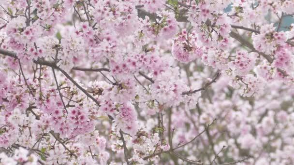 Chrám Tianyuan je proslulý svou krásnou scenérií a krásným místem pro Třešňové květy na Tchaj-wanu