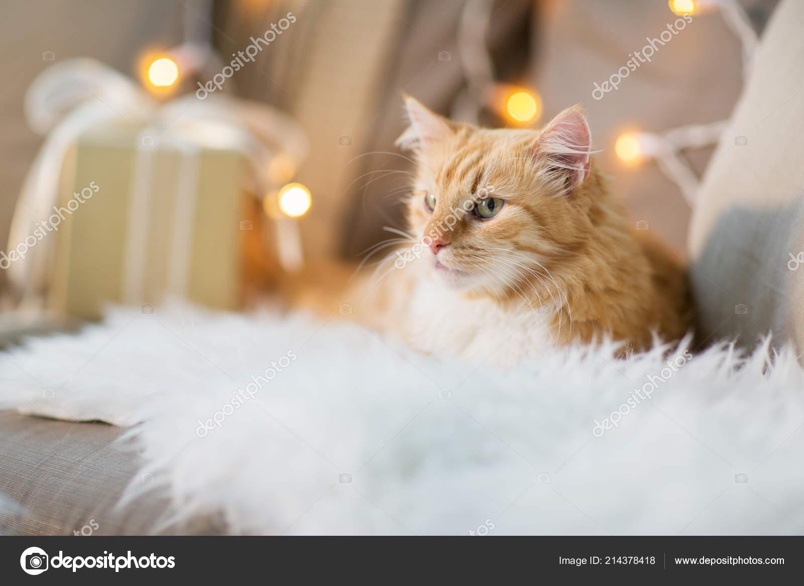 Gatto Di Tabby Rosso Sul Sofà Con Il Regalo Di Natale A Casa Foto