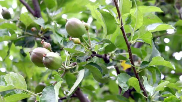 close-up footage of apple tree with green leaves and apples