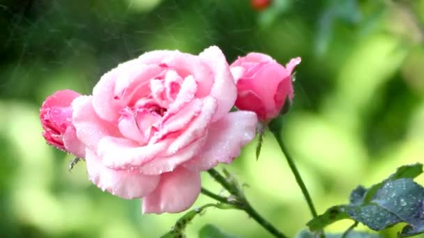 close-up footage of pink roses in garden