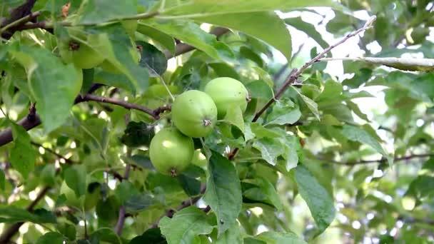 közeli felvétel, zöld levelek és Alma almafa
