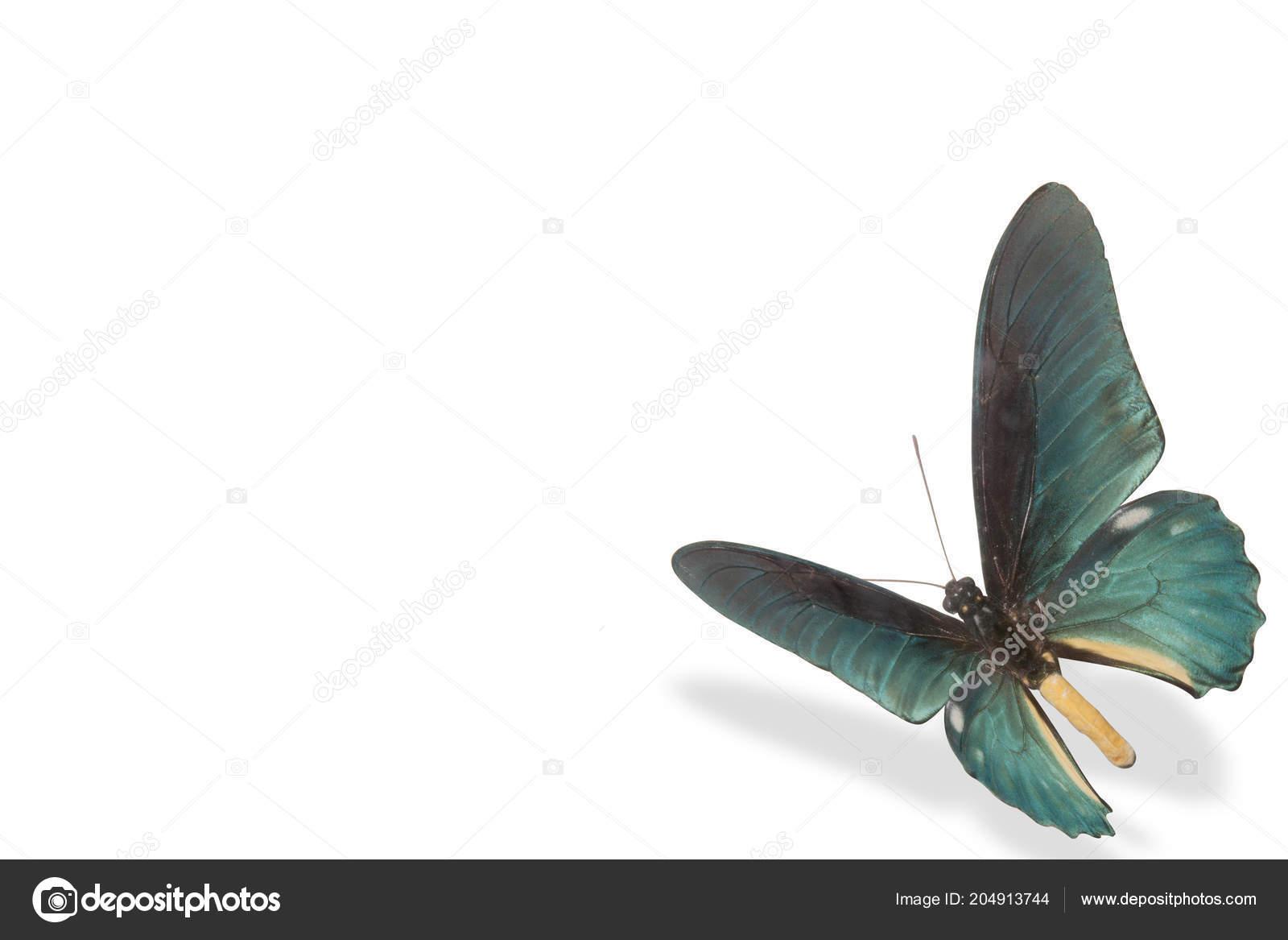Una Farfalla Blu Sfondo Bianco Con Ombra Foto Stock Galadon