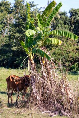 Cow under shadow at field
