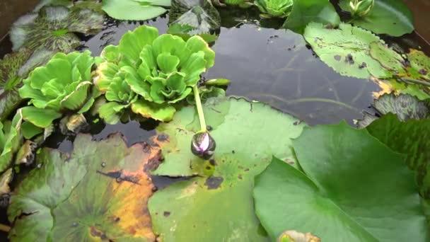 Lotosový list a vodní hyacint v jezírku s výhledem shora