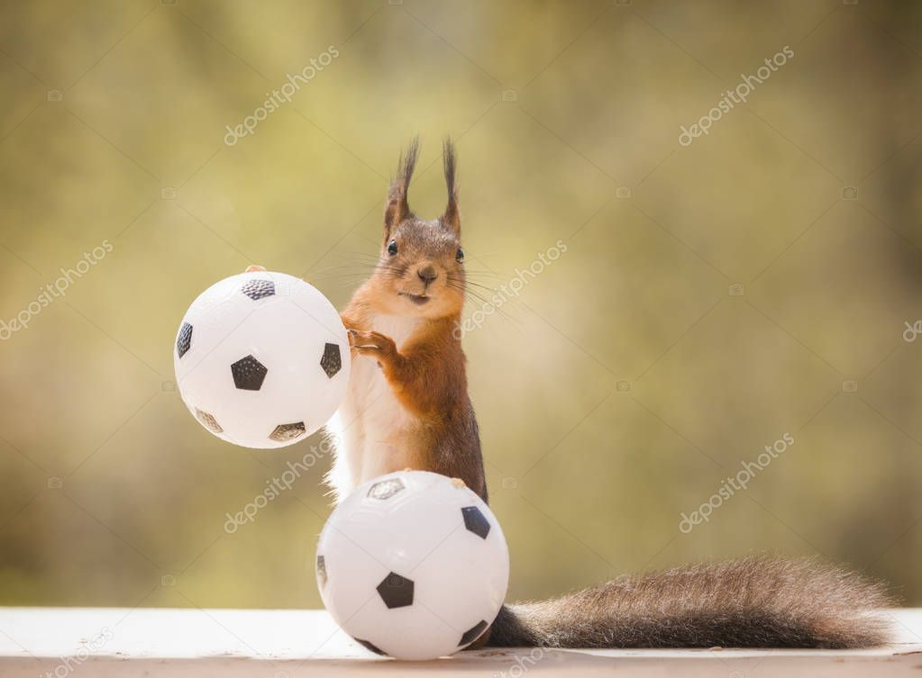 red squirrel is holding on to an football