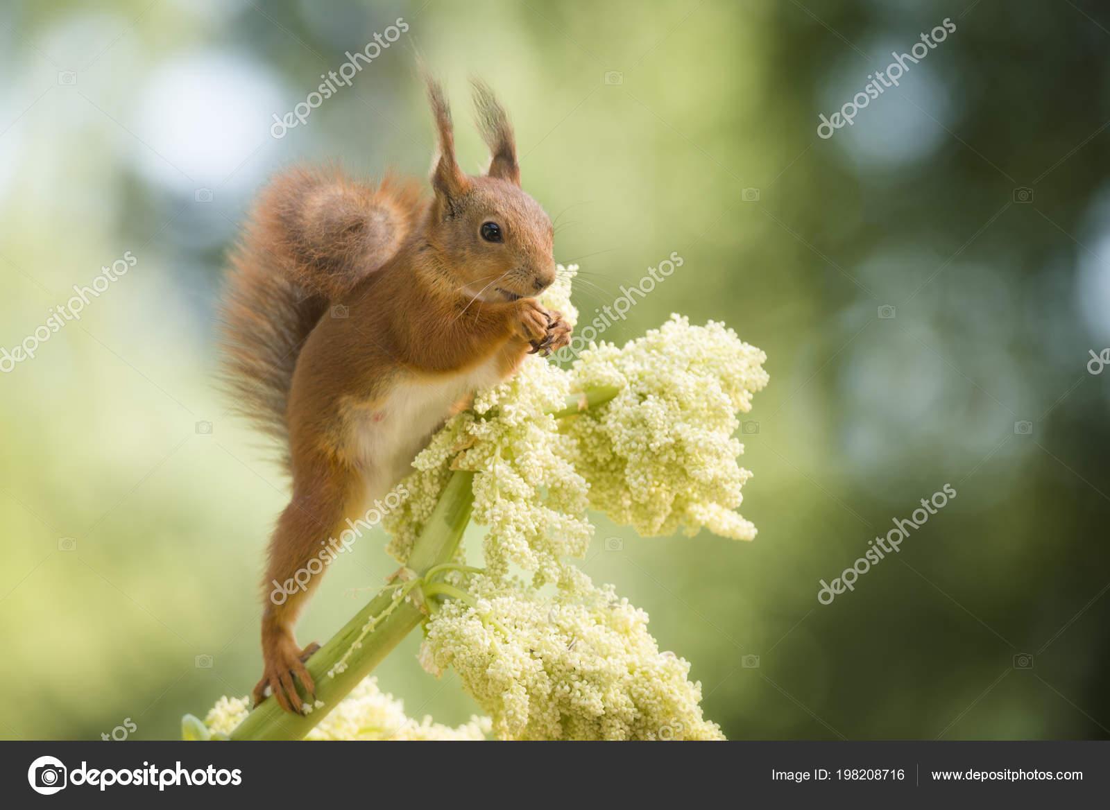 Ecureuil Roux Debout Sur Une Fleur Rhubarbe Photographie