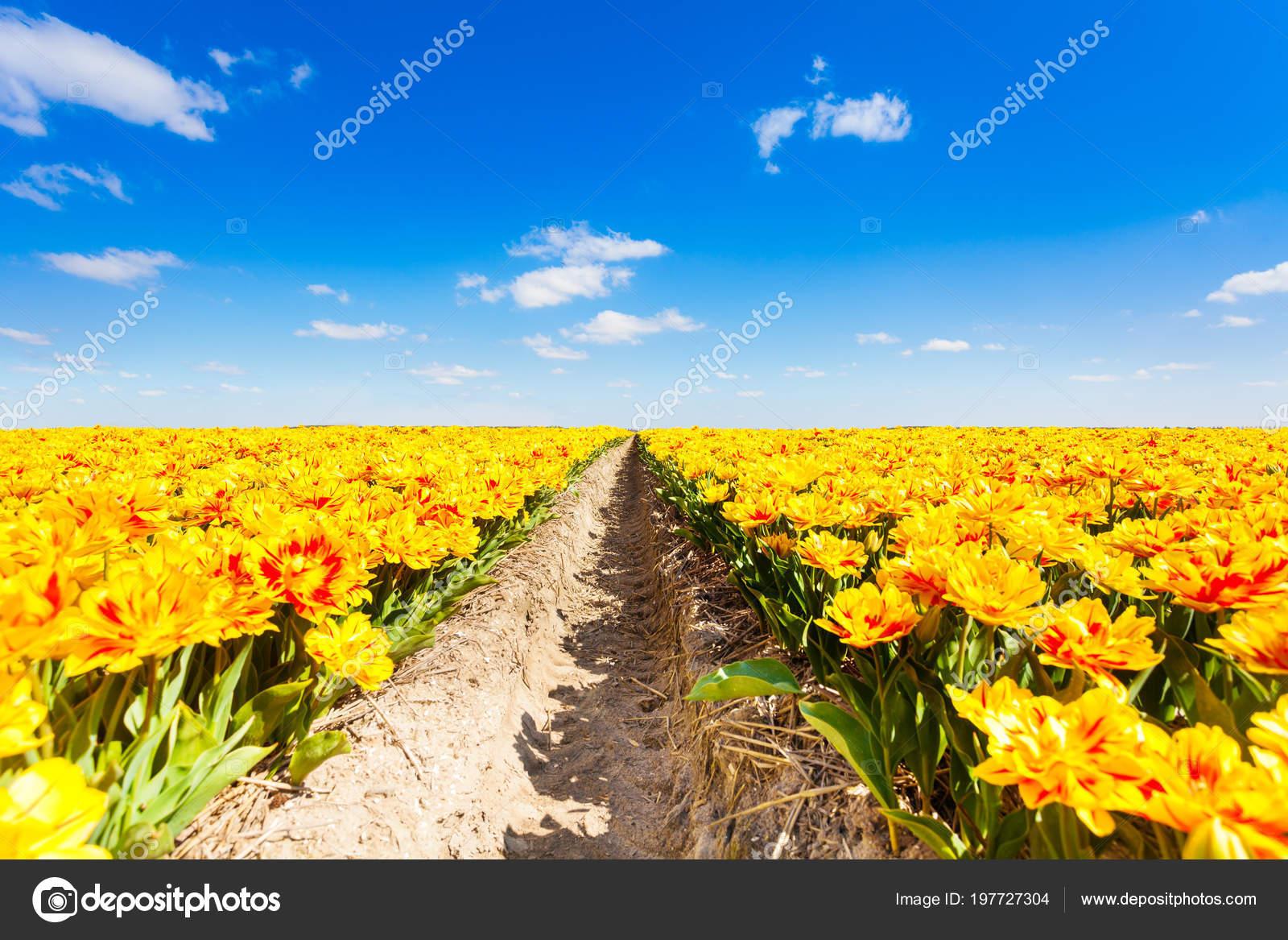 Beautiful Yellow Flowers Field Rows Sky Horizon Sunny Day Summer