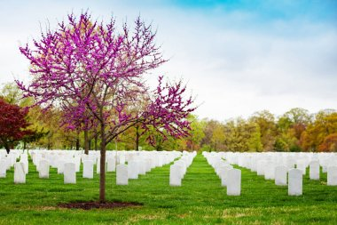 Rows of tombs, graves on military Arlington cemetery and blooming spring cherry tree with flowers stock vector