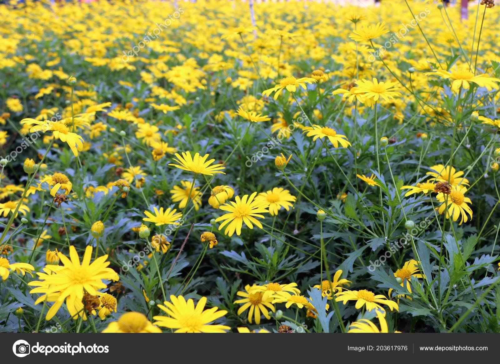 Beautiful yellow spring flowers garden stock photo razihusin beautiful yellow spring flowers garden stock photo izmirmasajfo