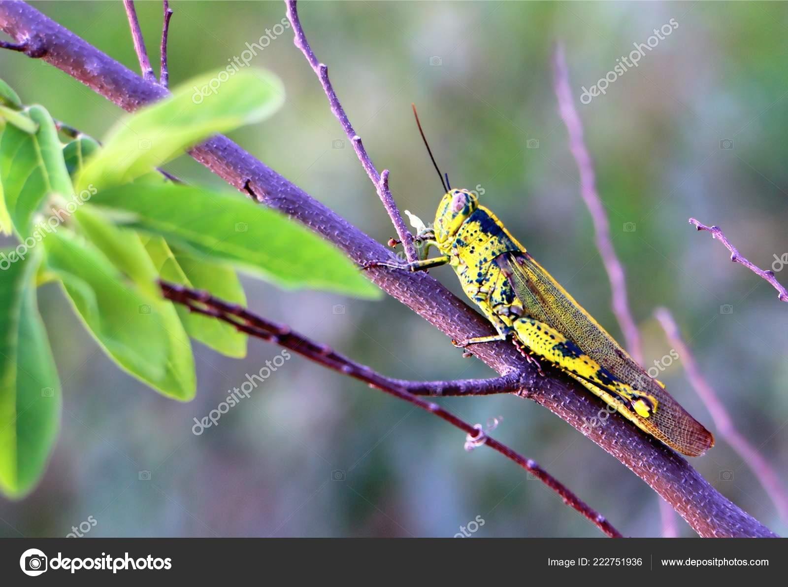 Grasshopper Valanga Nigricornis Close Also Known Belalang Kunyit Stock Photo C Razihusin 222751936