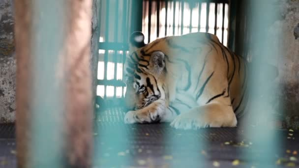 single wild bengal tiger licks himself in his cage behind green lattice in tropical zoo