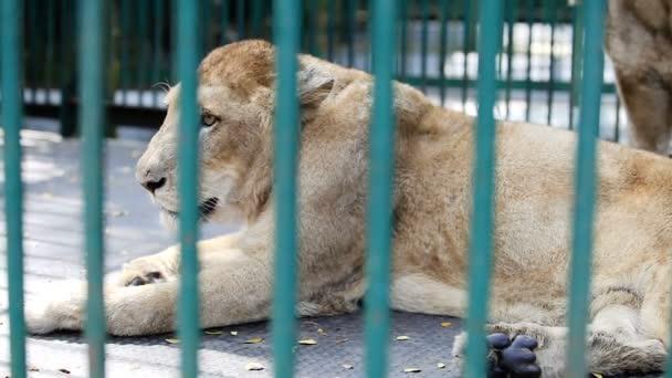 Vértes vadon élő oroszlán többi belső rész a kalitka, trópusi állatkertben zöld rács mögött