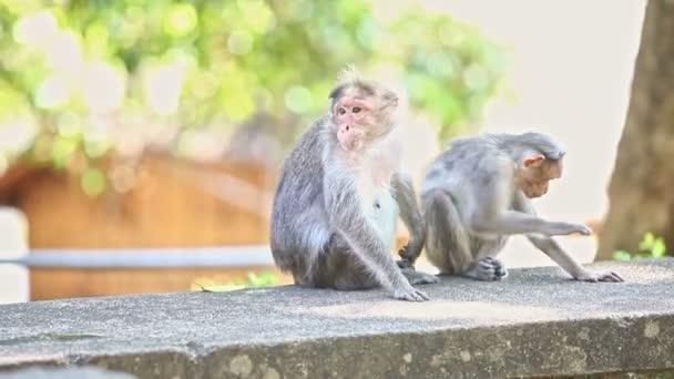 detailní dvě opice sedět na kameni pohled ve stínu stromu proti světle zelené pozadí v indickém tropickém parku