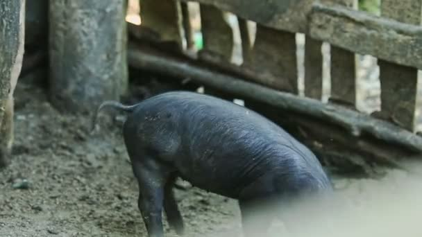panorama from little black pig to small group of domestic pigs large pigsty