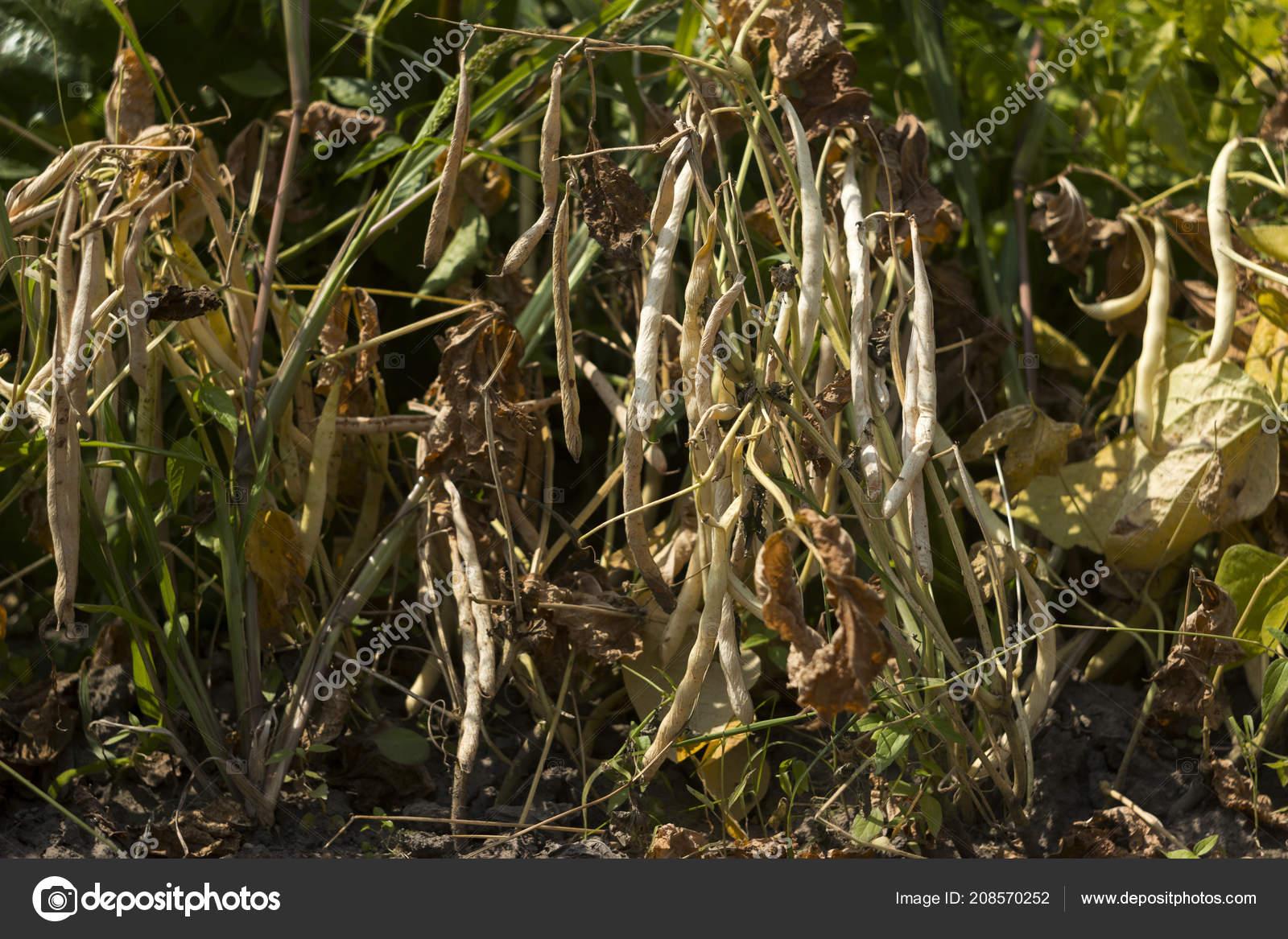 Dry Ripe Beans Grow Garden Long Beans Food — Stock Photo © Nikilev ...