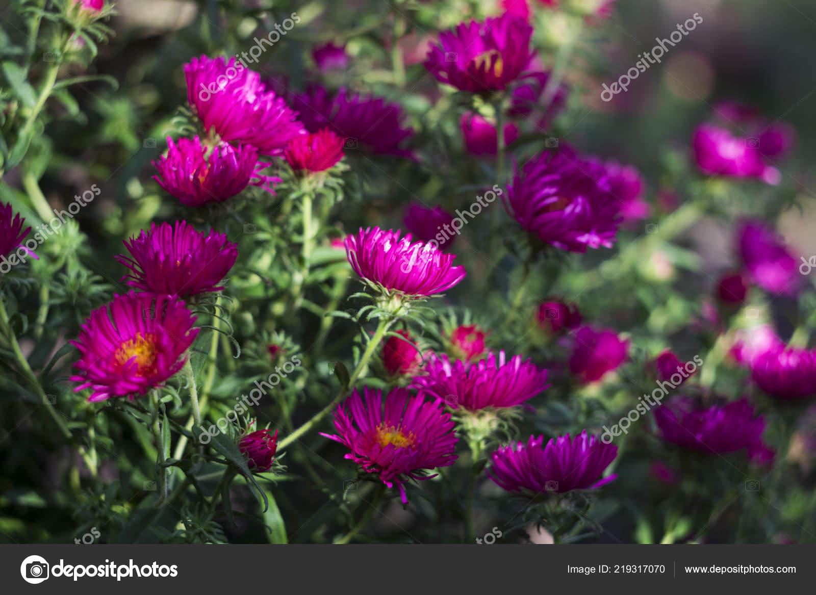 Mehrjahrige Aster Blute Rosa Herbstblumen Garten Hintergrund