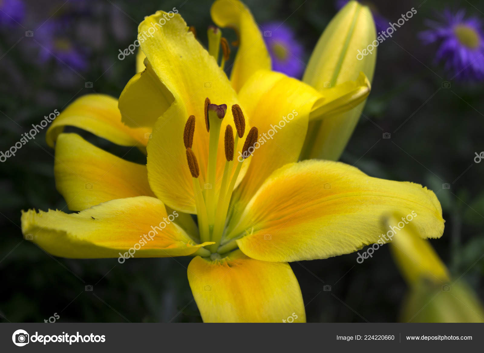 Yellow Lilies Blooming Garden Beautiful Summer Flowers Background