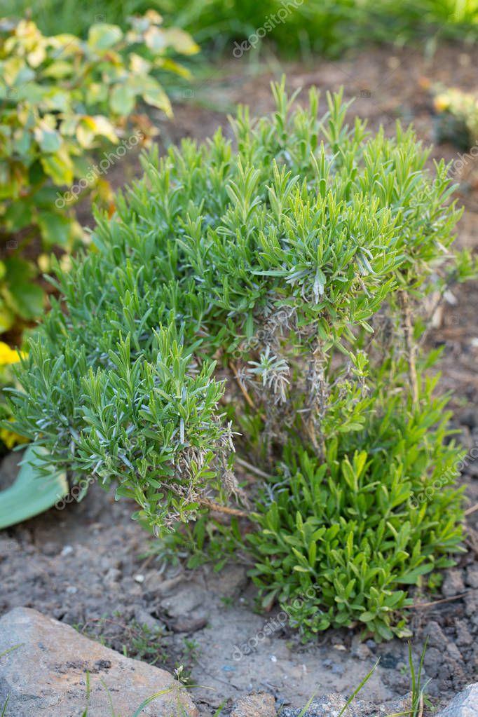 Update old lavender bush. trimming half bush