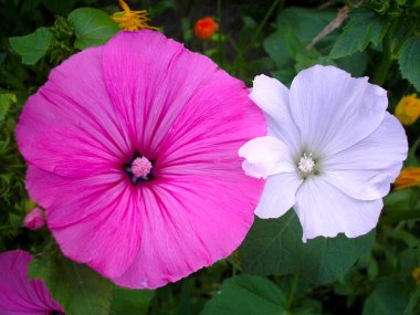 Close up of white and pink petunia flowers on a green background surrounded by other flowers in spring