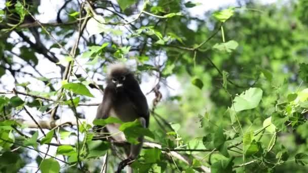 Dusky Leaf majmok vagy dusky langur étkezési levelek az esőerdőkben, Thaiföld.