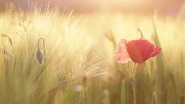 Mákvirág fúj a szélben. Vadvirág ringatózik a naplementében.