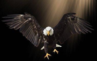 Bald Eagle flying on black background.
