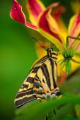 Gyönyörű pillangó Papilio pilumnus trópusi erdő ül a virág.