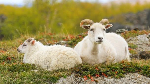 Typische weiße Schafe mit Lämmern auf der Weide in Island