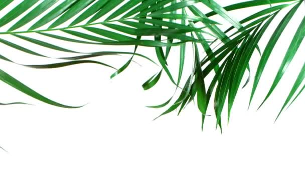Palm Leaves Motion by Natural Wind Isolated on White Background.
