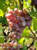 Fotografie Pink table grapes on the vine. Close-up shot of grape cluster in the sunlight.