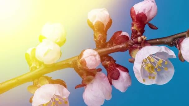 Meruňkové květy kvetoucí v pozadí přírody. Časosběrné video.