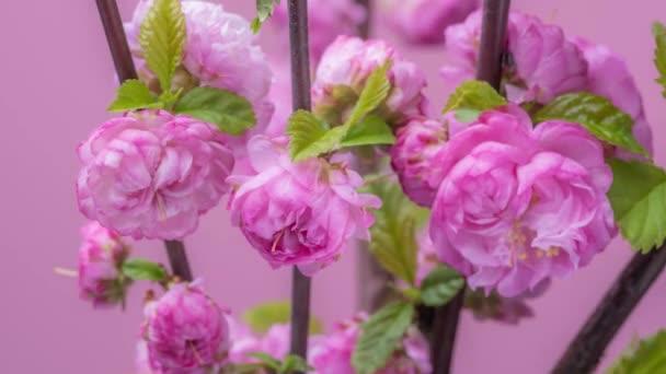 Sakura cseresznye virágok virágzó a rózsaszín háttér. Video-Időközű.