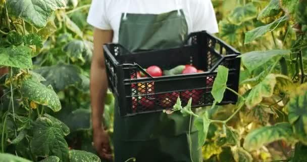 Muž sklízení zeleniny ve skleníku