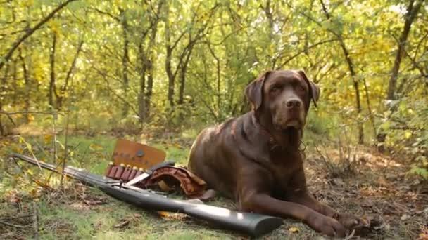 Labrador dog near shotgun, bandolier, cartridges and knife on grass and ground background