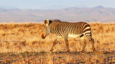 A Cape mountain zebra (Equus zebra) walking in the Mountain Zebra National Park in South Africa.