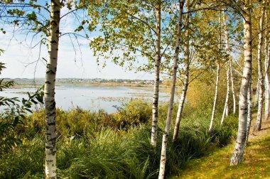 Scenic view of birch grove in daytime stock vector