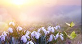 abstract nature spring Background; Snowdrop spring flower and fly butterfl