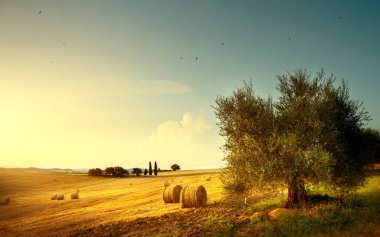Summer countryside landscape; farm field and olives tree
