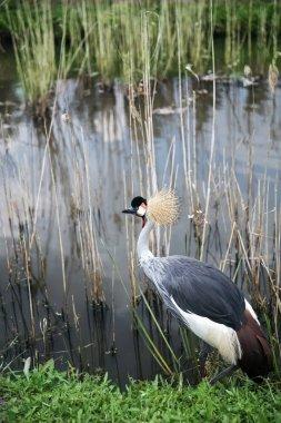 Vi ewat grey crowned crane (Balearica regulorum) on the pond