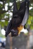 Große Flughund oder Flughund (pteropus vampyrus) hängen in einem Baum auf bali indonesien