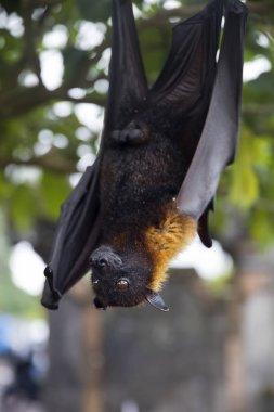 Large Flying Fox or fruit bat (Pteropus vampyrus) hanging in a tree at Bali Indonesia